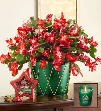 Christmas Cactus Plant  Free Candle