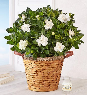 Blooming Gardenia Plant in Basket